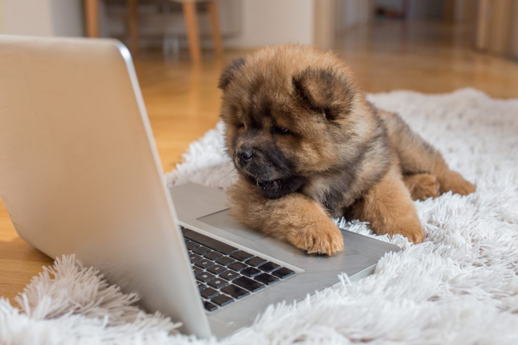 Cute chow-chow puppy lying on the carpet and watching something on the laptop.